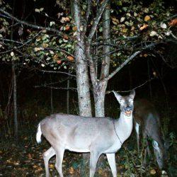 DeerPear1
